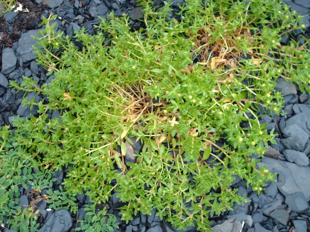 Ground Cover Plants on Kodiak