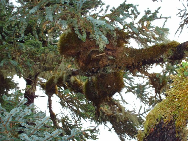 Kodiac ... Moss covering Sitka Spruces