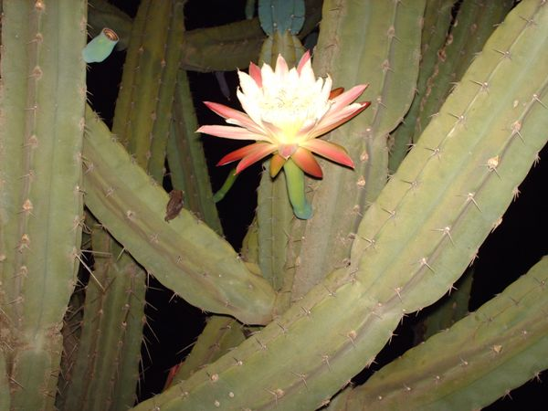 Cactus Blooming at Night