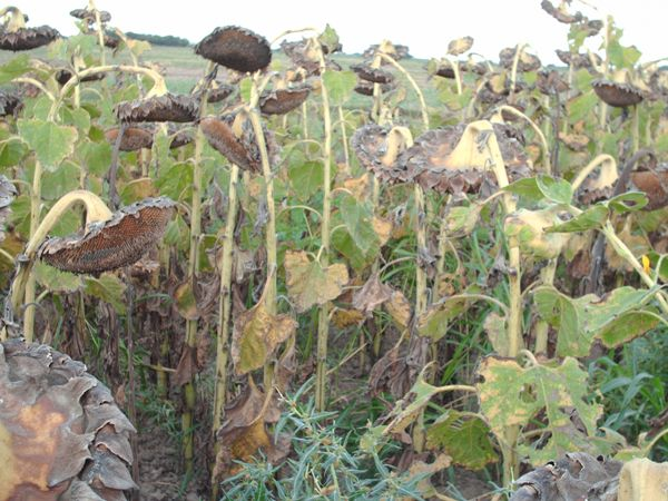 Sunflowers damaged by Doves
