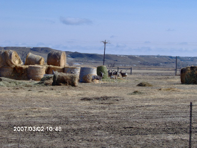 View of Mule Deer feeding on hay bales at the  Wilson Ranch