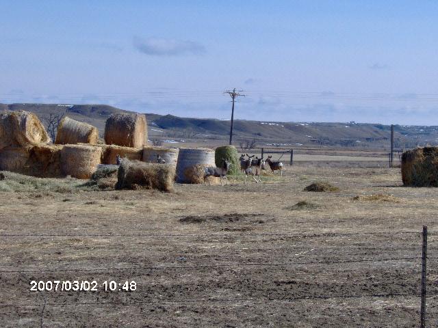 View of Mule Deer feeding on hay bales at the  Wilson Ranch