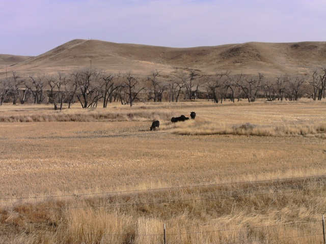 Cattle in Fields of the Wilson Ranch