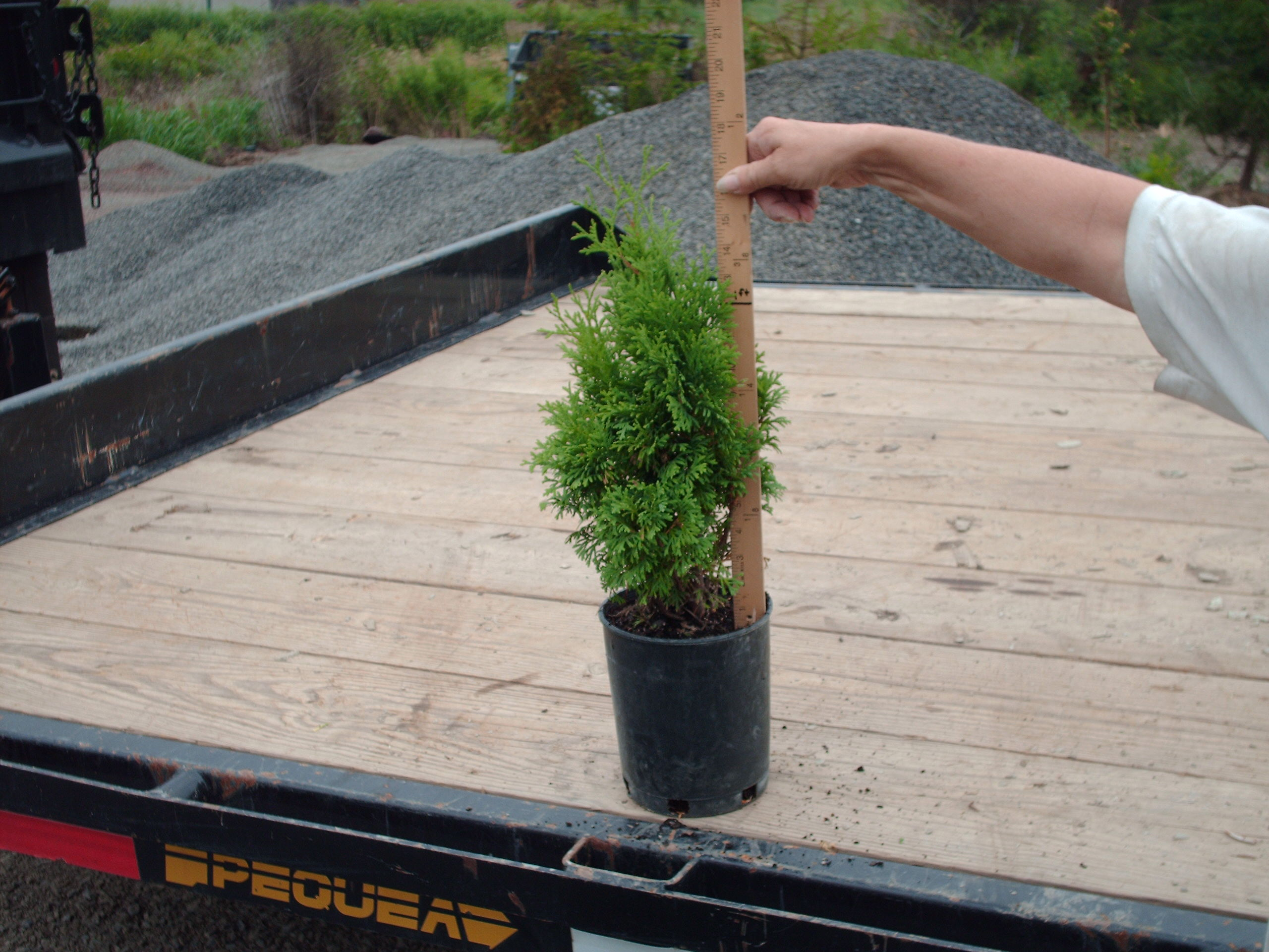 Holmstrup Arborvitae 12 to 14  inch liner